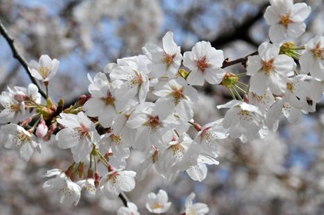 カメラを持って桜旅行!桜を追いかけて写真を愉しんでみませんか?